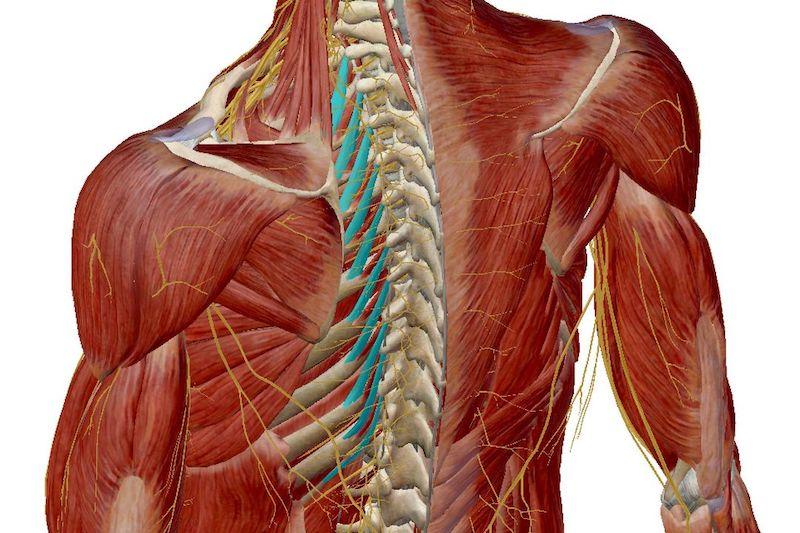 yoga respiration anatomie